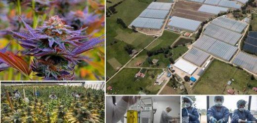 Clever Leaves y Pharmalab pactan alianza para suministrar cannabis medicinal a pacientes en Colombia