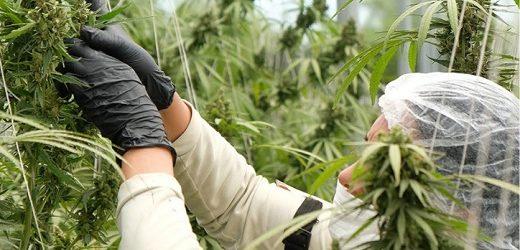 Primeras exportaciones de Avicanna en forma de semillas feminizadas a Perú y Argentina