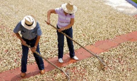 Aprobado Conpes para la sostenibilidad de la caficultura colombiana con una inversión mínima de $34.531 millones