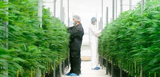 Clever Leaves realizó primera exportación comercial a E.U. de flor seca con alto contenido de THC (tetrahidrocannabinol)